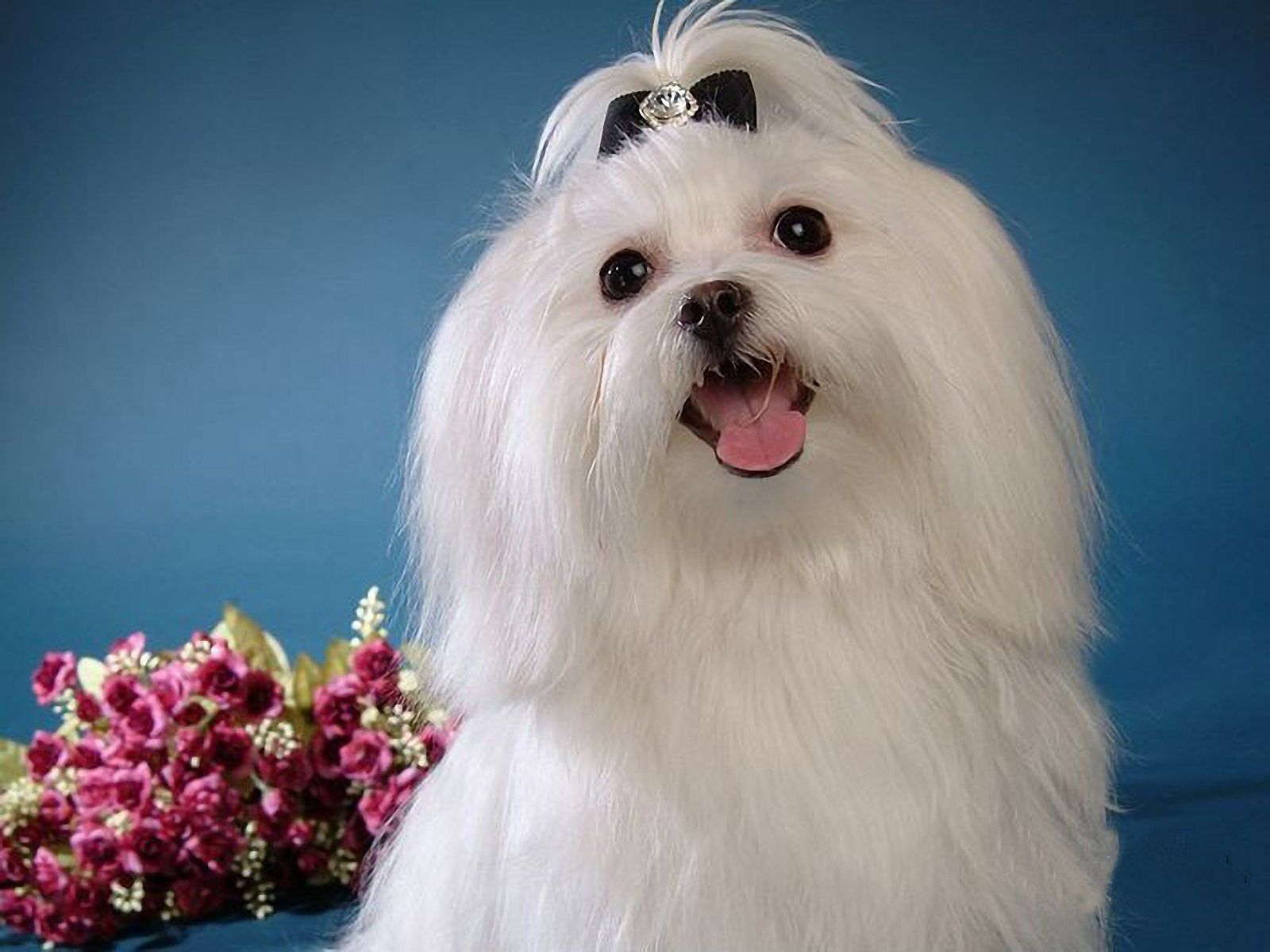 White Maltese Puppy Smile Maltese Dogs Maltese Puppy Maltese Breed