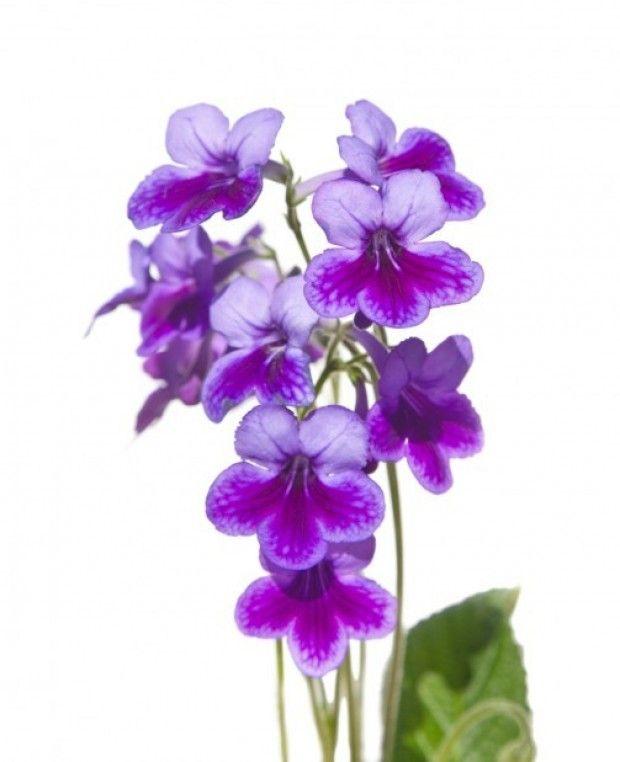 Cape Primrose Violet Flower Violet Flower Tattoos Violet Tattoo