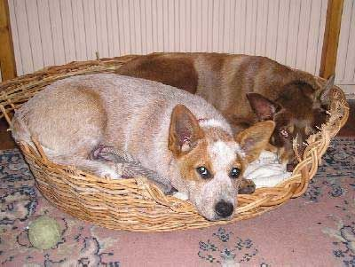 Red Heeler Google Search Cattle Dogs Rule Red Heeler Heeler