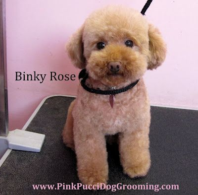 Toy Poodle Full Grooming At Pink Pucci Pet Spa Miniature Poodle