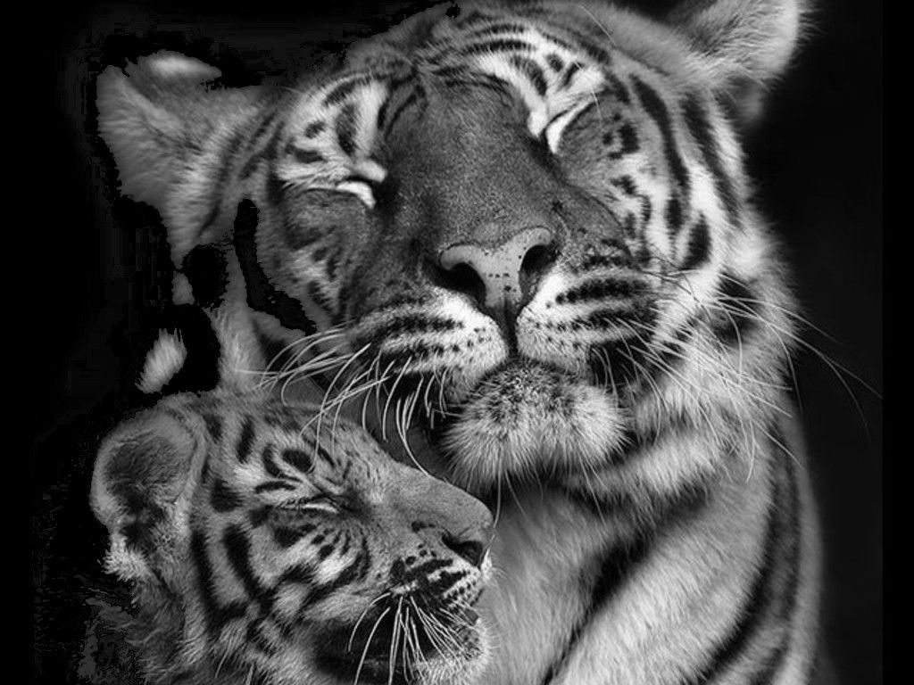 blue and black tigers baby white tigers with blue eyes wallpapers
