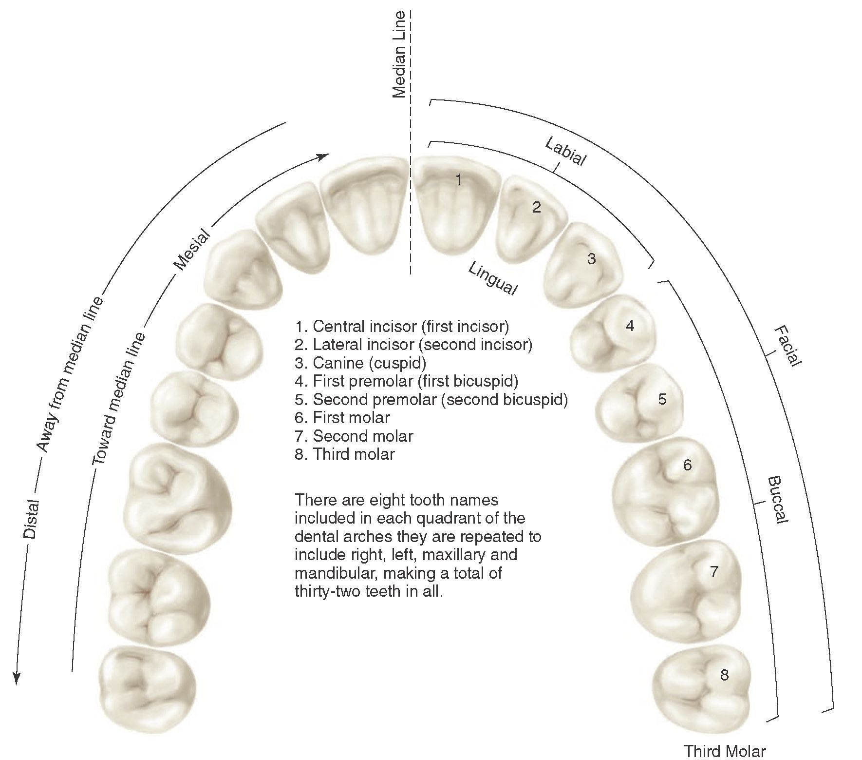 Application of nomenclature. Tooth numbers l1 to L8 indicating left ...