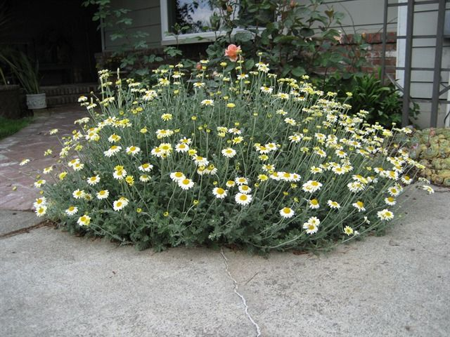 Anthemis \'Susanna Mitchell\' is a herbaceous perennial forming mounds ...