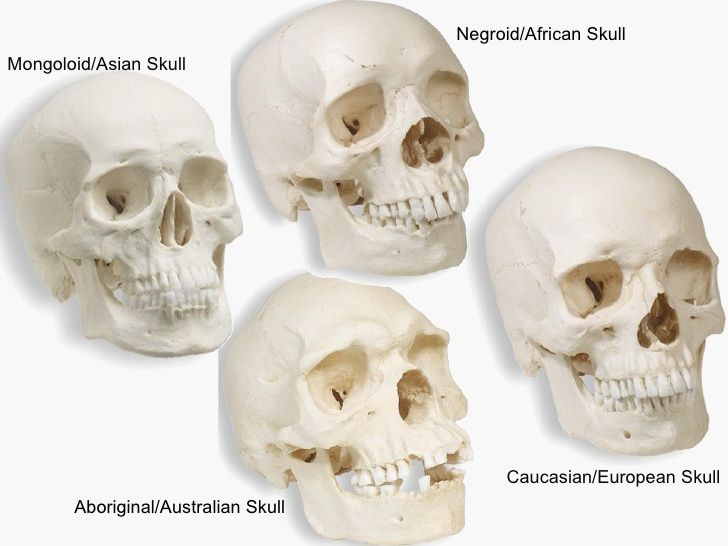 Shih Tzu Skull Google Search Food Skull