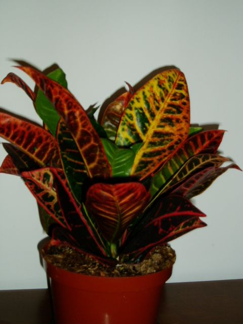 House Plants The Croton Plant Is Becoming A Very Popular