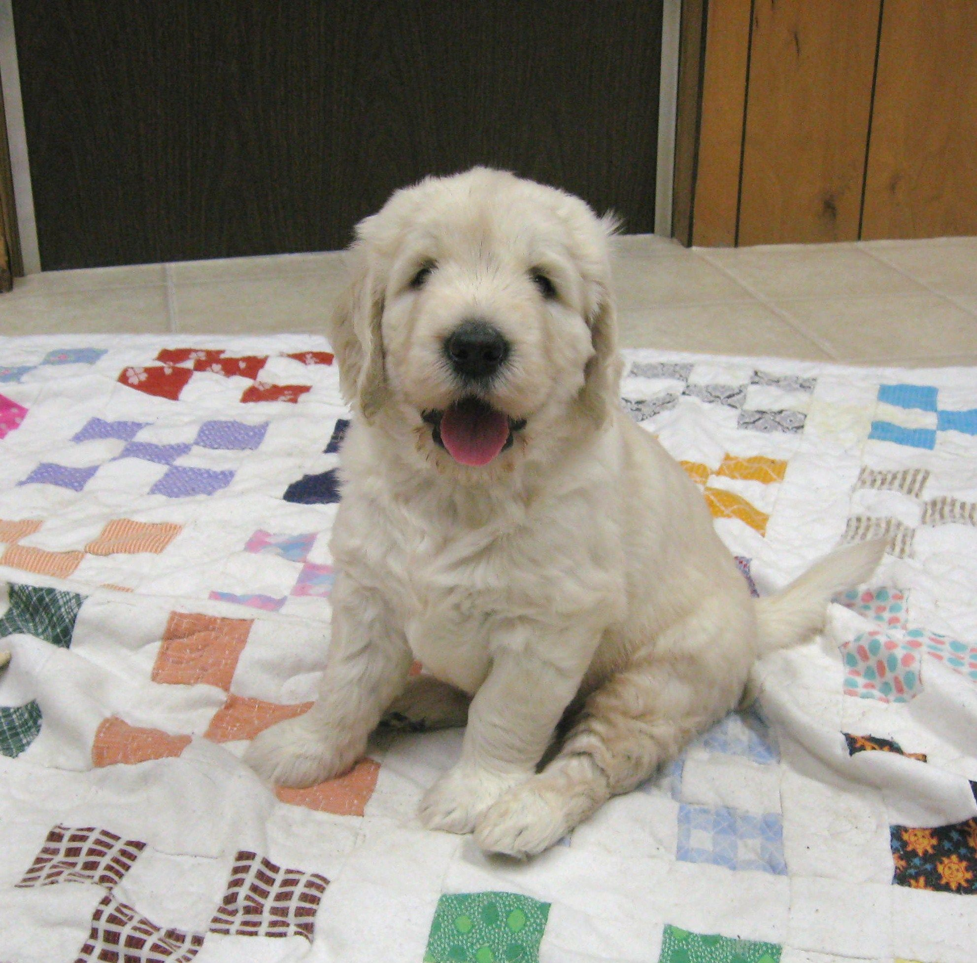 Standard English Goldendoodle puppy at ...
