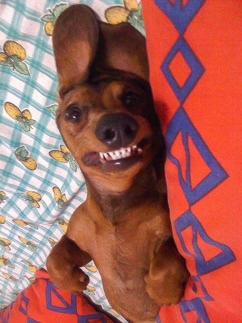 Resultado de imagen para dachshund funny face
