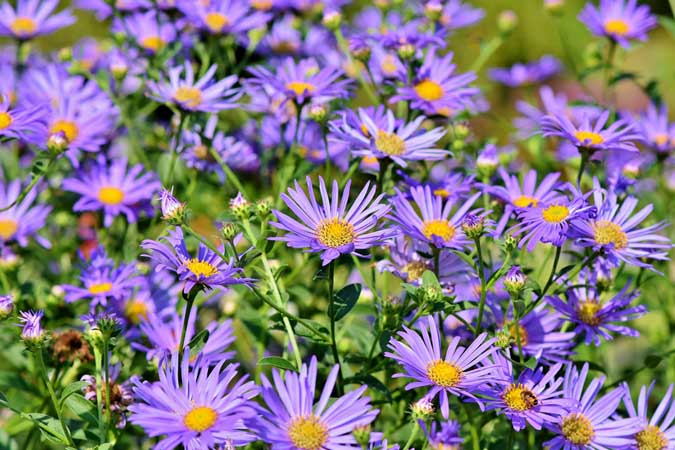 A No Nonsense Illustrated Guide To 49 Botanical Terms The Grow Network Aster Flower Bee Garden Botanical Terms