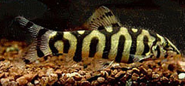 Yo Yo Loach Botia Almorhae Tropical Fish Keeping Aquarium Fish Tropical Fish Aquarium Cool Fish