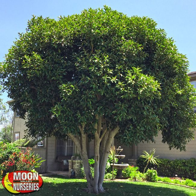 22 Tree Shade Landscaping Ideas For Your Yards: Evergreen Trees Landscaping