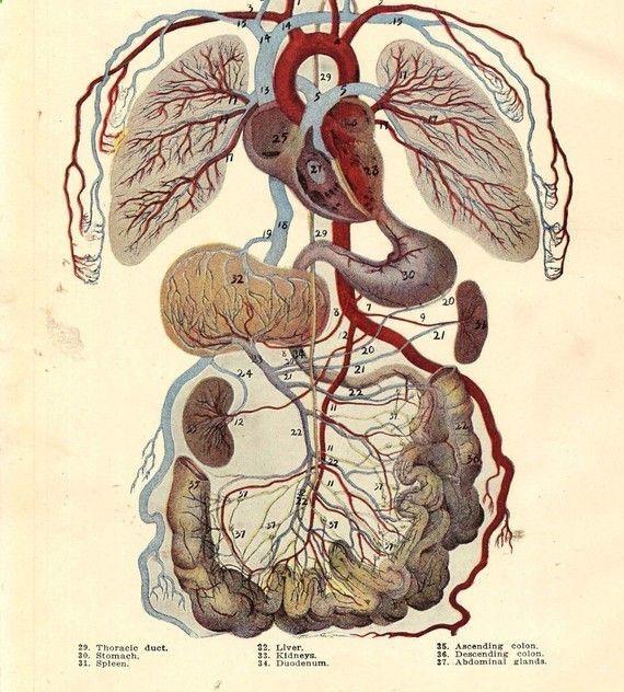Vintage de anatomía humana aparato circulatorio de 1920 Original ...