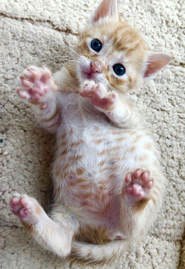 Kitten Adoption San Diego Adopt A Kitten With Images Kitten Adoption Kittens Kitten For Sale