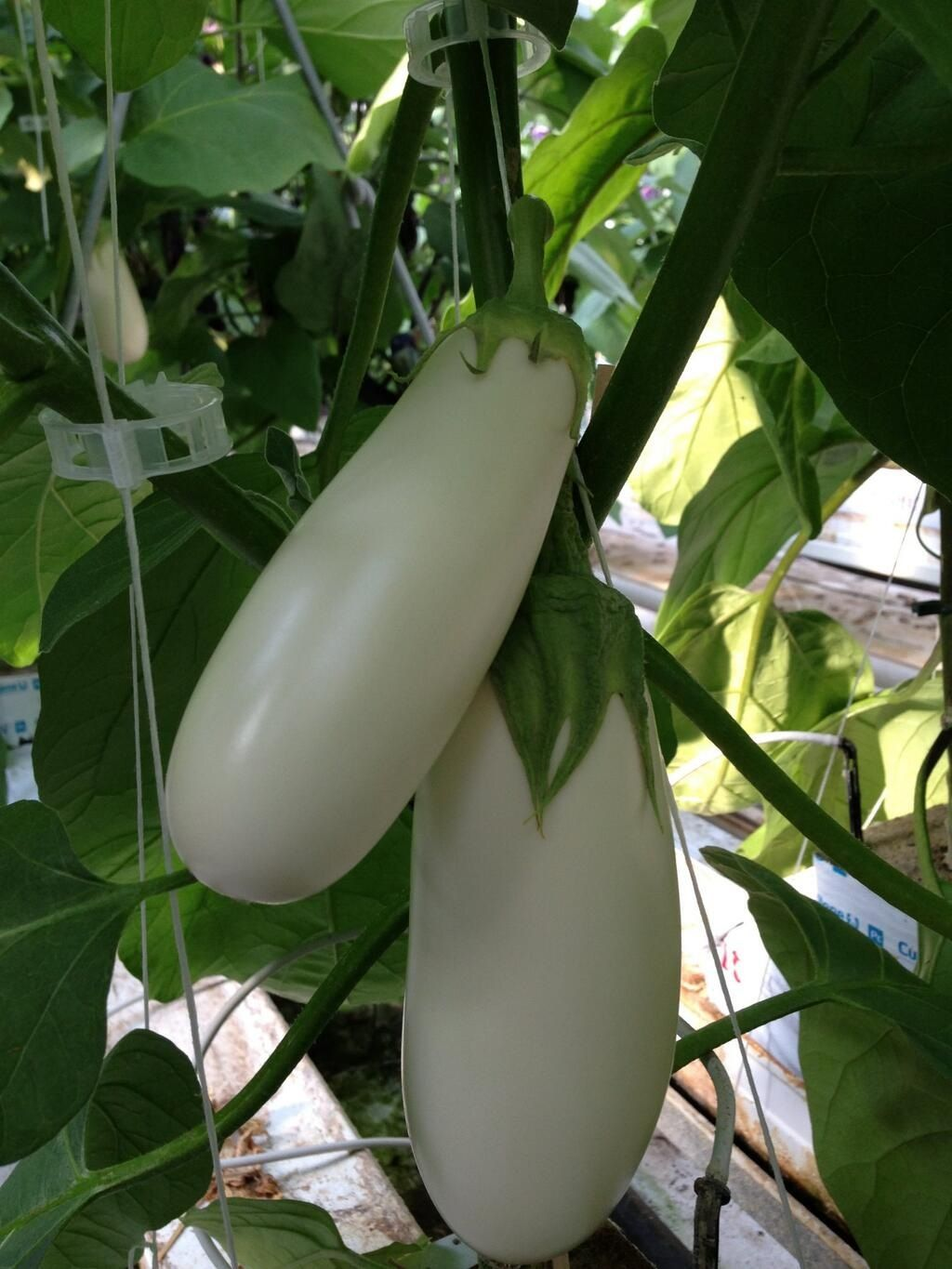 We Grow Our Greenhouse Eggplants Year Round With Our Peak Growing Times Being July To October Greenhouse Eggplant Tends To Have Greenhouse Plants Outdoor