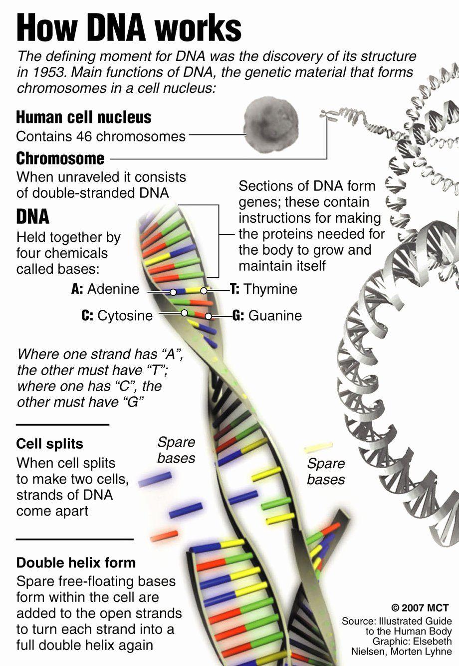 Dna Structure Worksheet Answer Elegant 5 Dna Structure Worksheet Biological Science Picture In 2020 Teaching Biology Science Biology Biology Notes