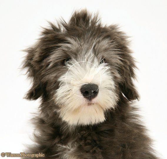 Dog Bearded Collie Pup Photo Bearded Collie Bearded Collie