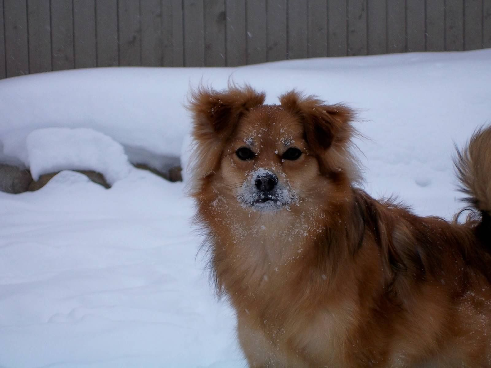 pomeranian mini australian shepherd mix for sale aussie pom baylor dogs pinterest doggies dog and 7673