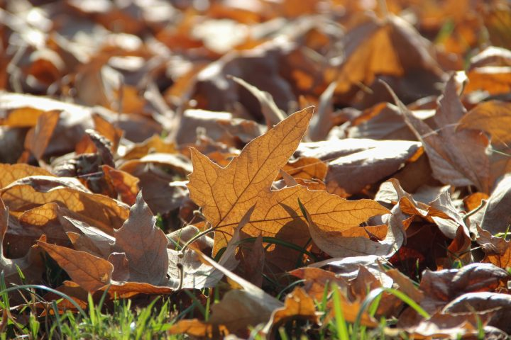 Free Stock Photo Of Dead Autumn Leaves On Grass Autumn Leaves Free To Use Images Stock Photos