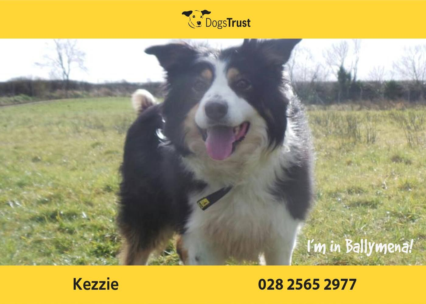 Kezzie At Dogs Trust Ballymena Is A Beautiful 8 Year Old Collie