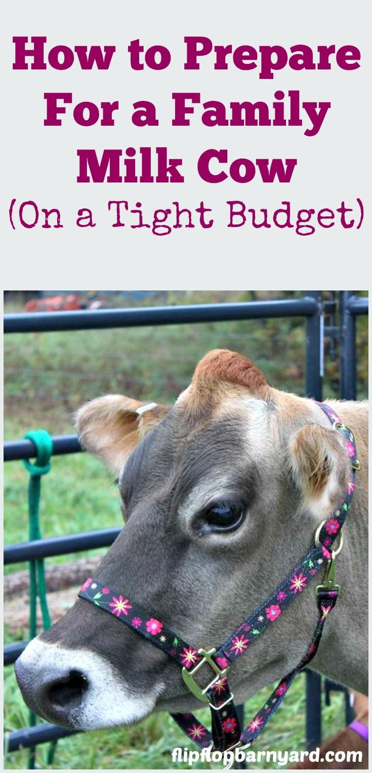 How to Prepare For a Family Milk Cow (On a Tight Budget ...