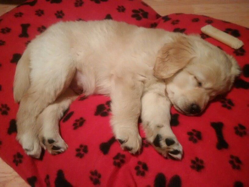 Long Haired Yellow Labrador Retriever 8 5 Weeks Old Sleepingpuppy Labrador Retriever Sleeping Puppies Labrador