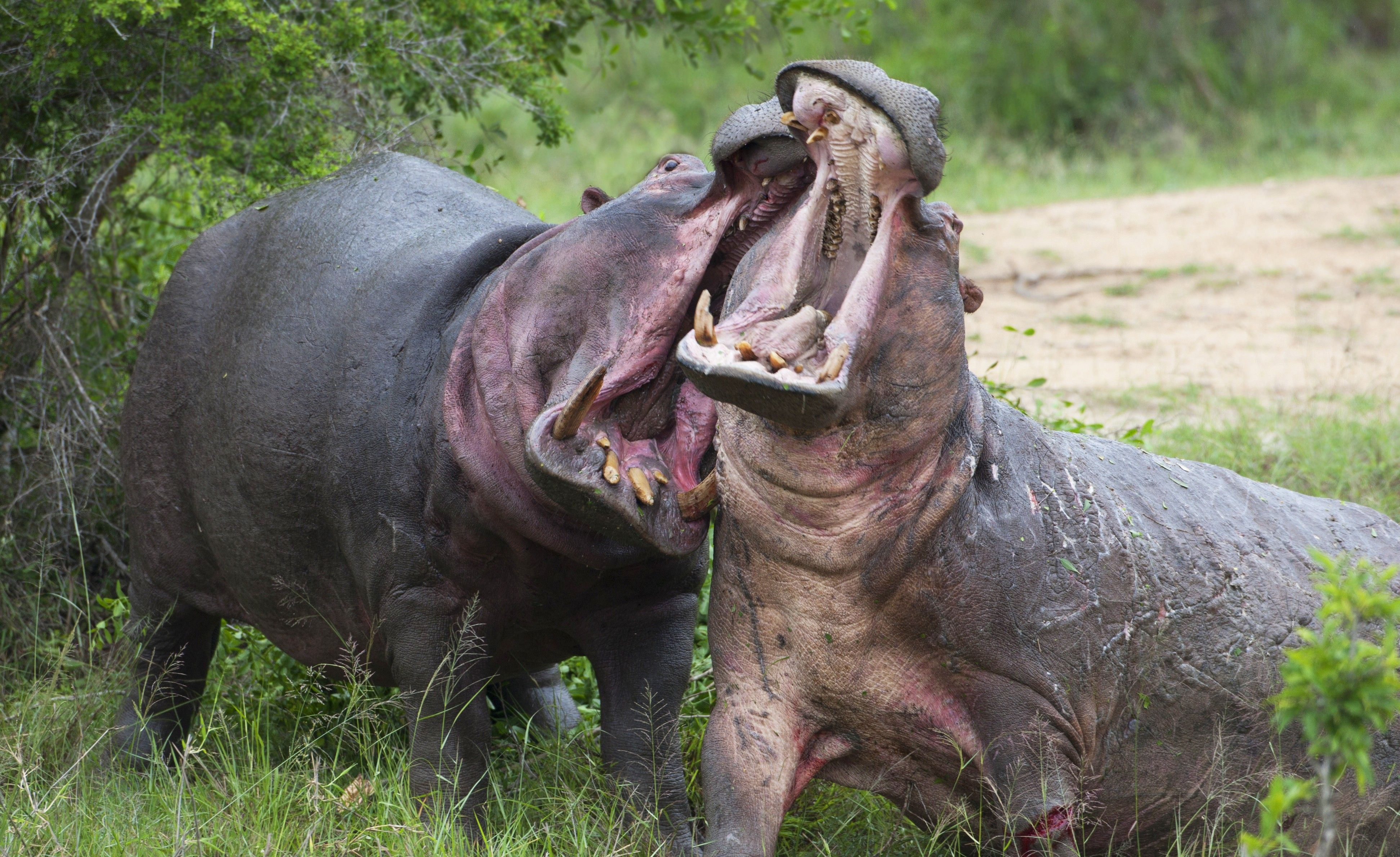 Hippo can run up to 30 mph and will chase and attack anything that comes into their territory