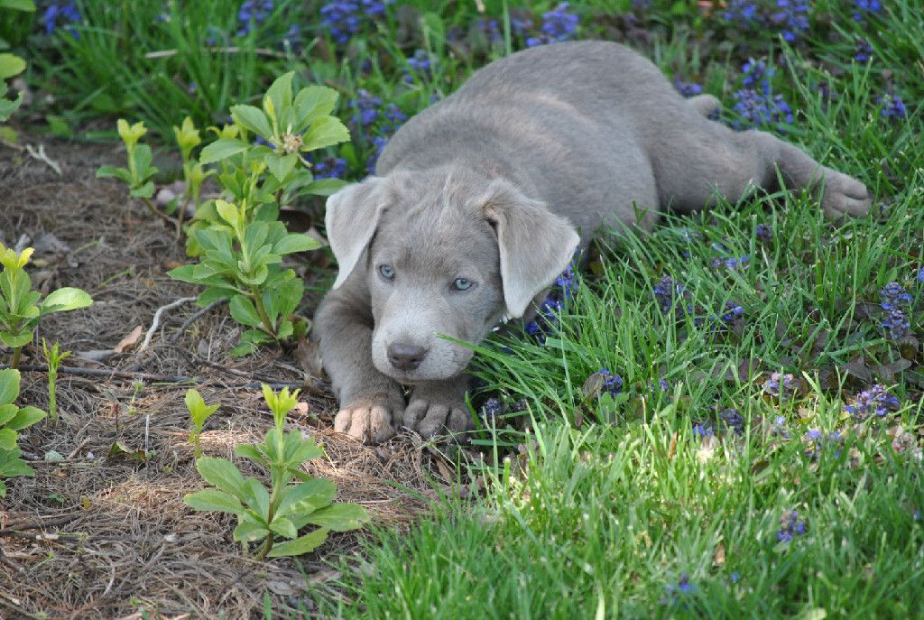 Silver Mist Labradors Silver Lab Puppy For Sale Silver Labs Ohio Labrador Lab Puppies Silver Lab Puppies