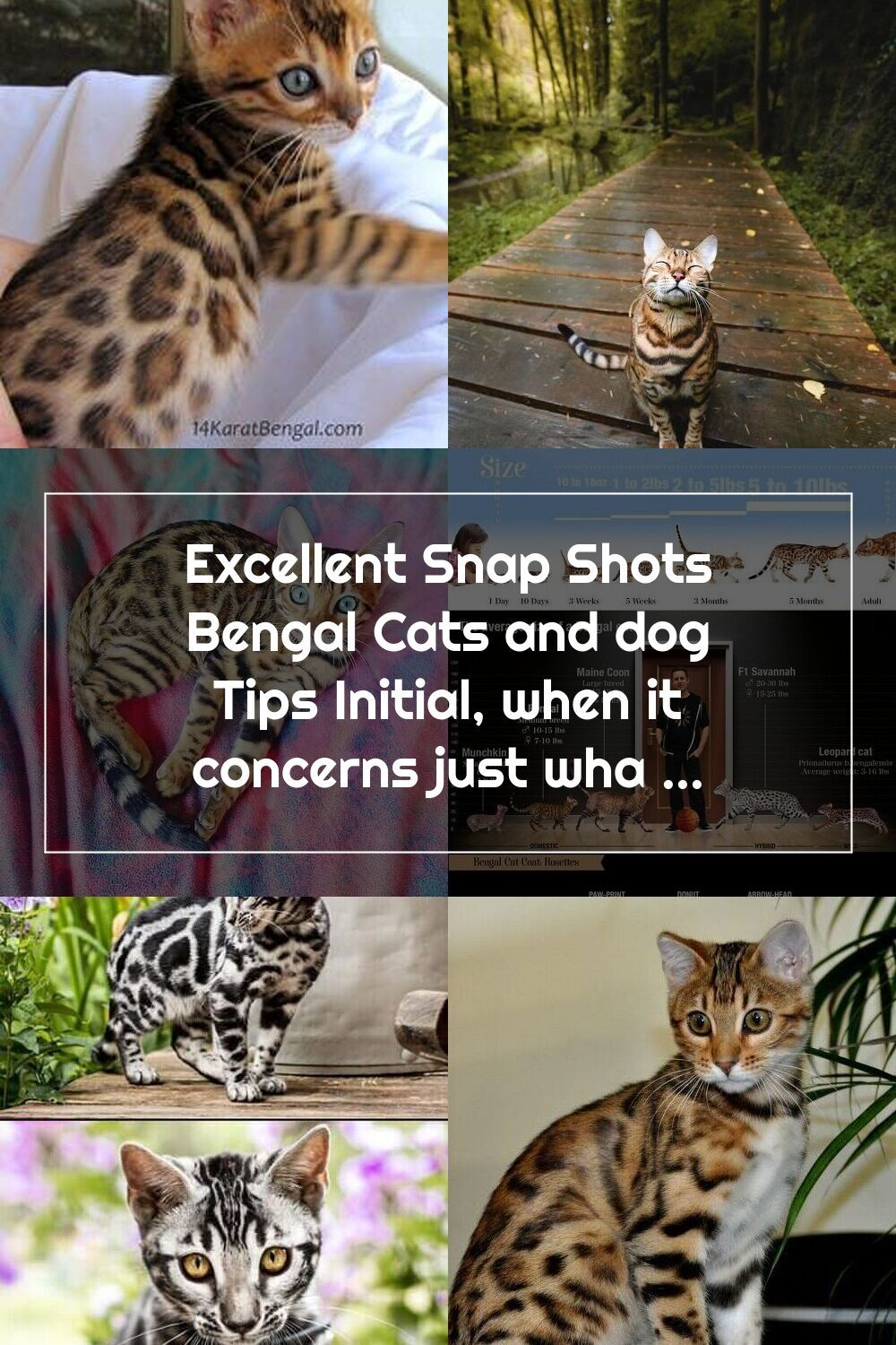 Excellent Snap Shots Bengal Cats And Dog Tips Initial When It Concerns Jus In 2020 Bengal Cat Dog Cat Bengal Kitten
