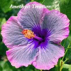 Amazon Com Amethyst Treasure Hibiscus Hibiscus Seeds 10 Seeds