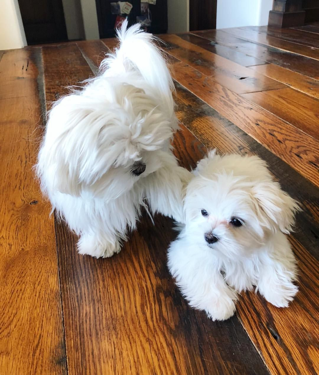 Play With Me Cocoa The Maltese Maltese Puppy Cute Puppies Cute Dogs