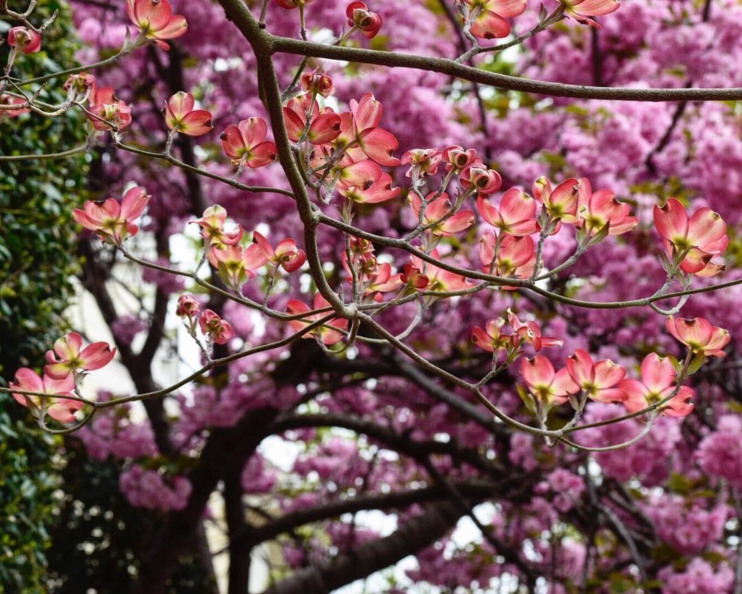 spring #cherryblossomsfestival #washingtondc #spring #rwjourneys #shoot #instanature #igers #smithsoniancastle #webstagram #igdc #acreativedc #bythings #instacolors…