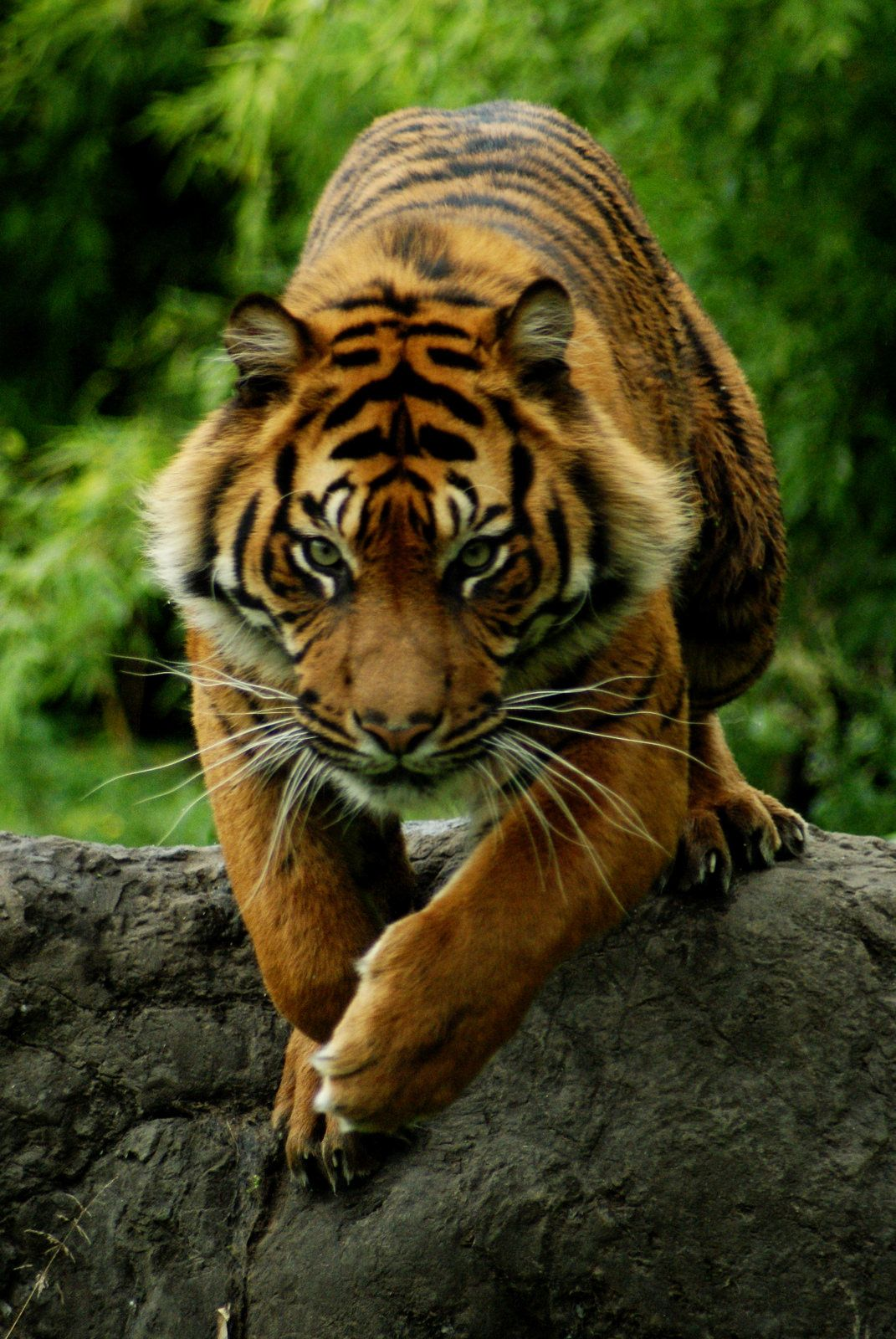Diergaarde blijdorp sumatran tiger tigers majestic animals and