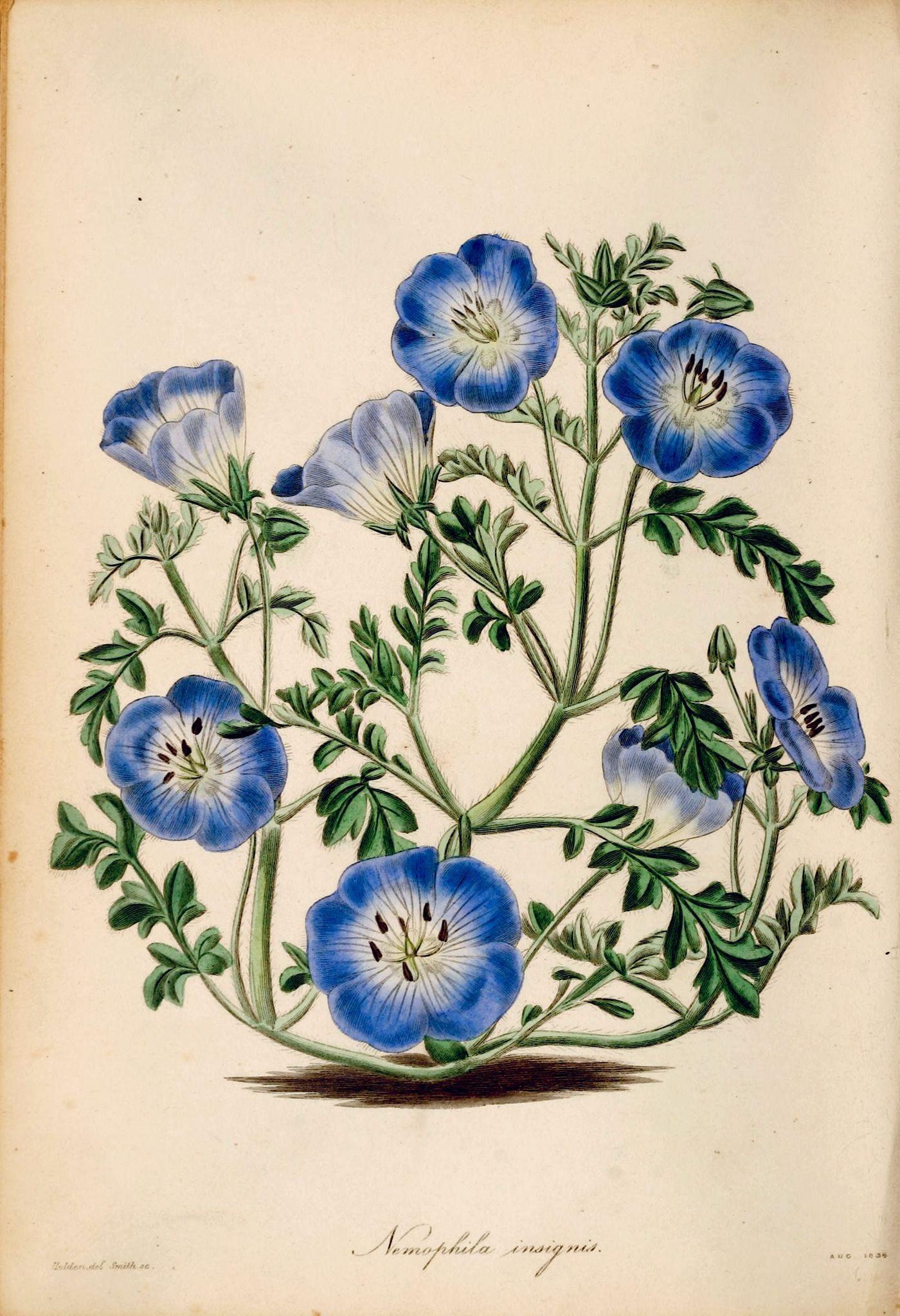 Baby blue eyes 1839 botanical art botanical drawings