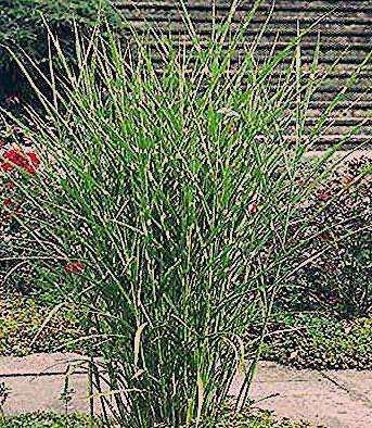 Photo of Harter Zebraschilf Strictus – Miscanthus sinensis Strictus günstig online kaufen