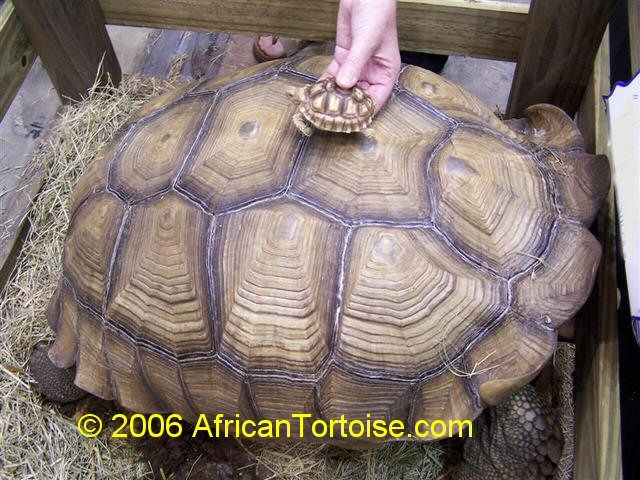 African Sulcata Tortoise Comparison Between A 19 Year Old 150