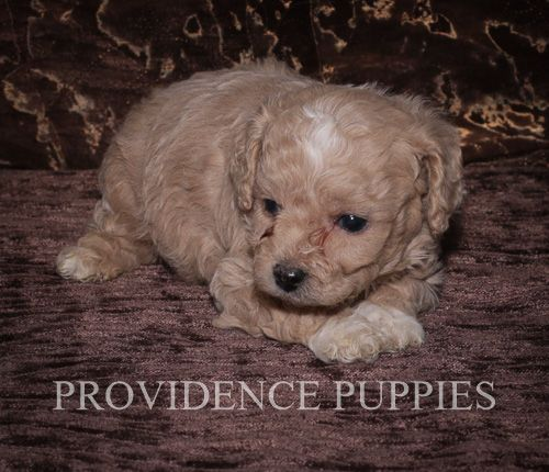 Cavapoo puppy for sale in WAYLAND, IA. ADN70775 on