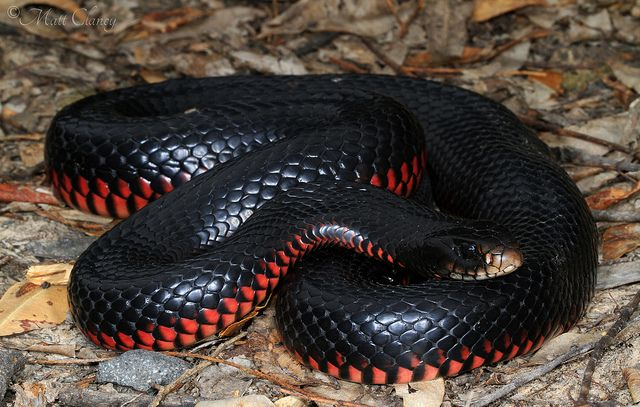 Red Bellied Black Snake (With images) Snake, Australian