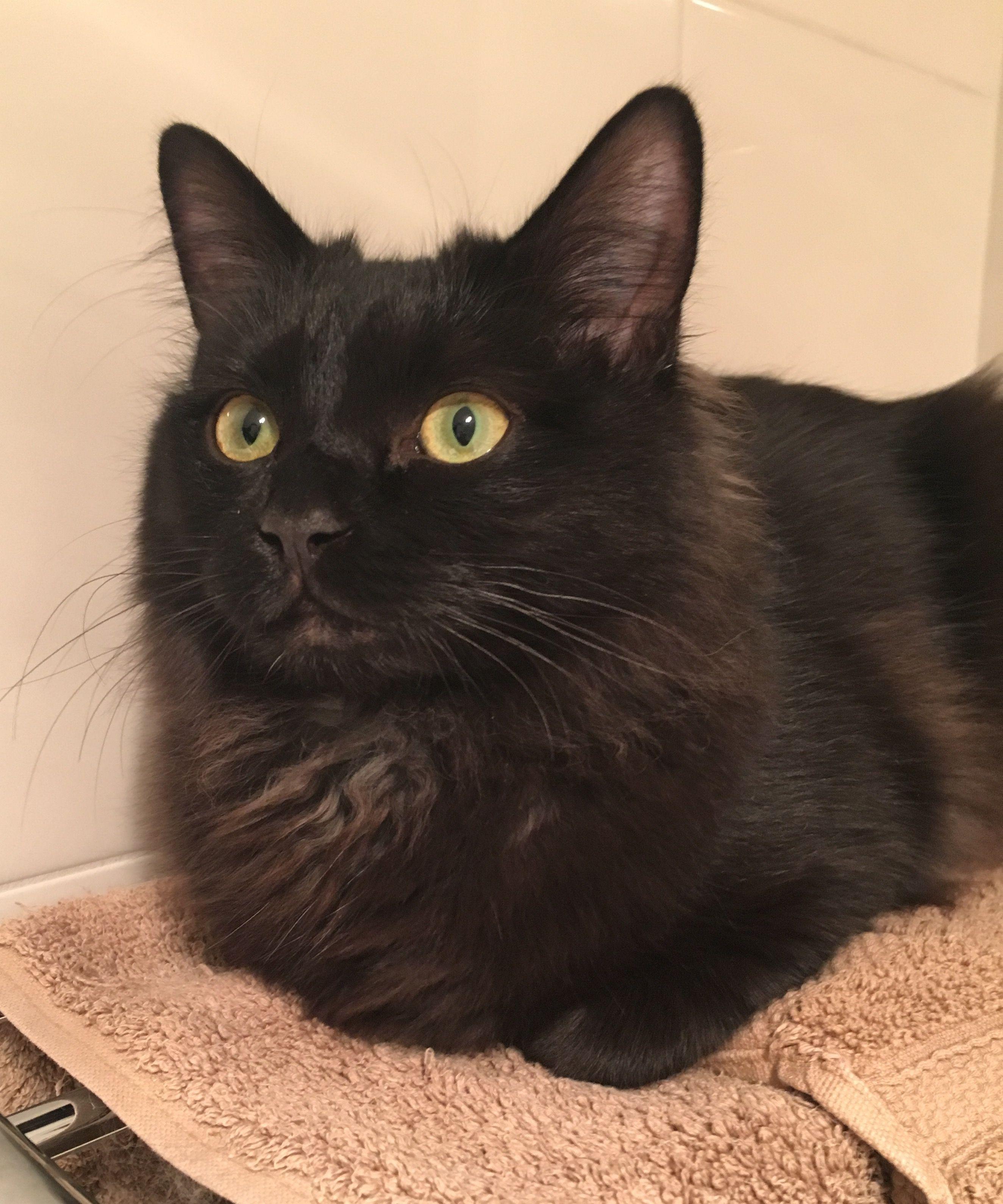 Bentley dark brown (black?) solid colour ragdoll cat