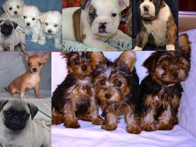 Teacup Maltese Yorkie Chihuahua Pug English Bulldog Boxer Puppies For Sale In Liverpool Used Second Hand D Boxer Puppies For Sale Cute Animals Boxer Puppies