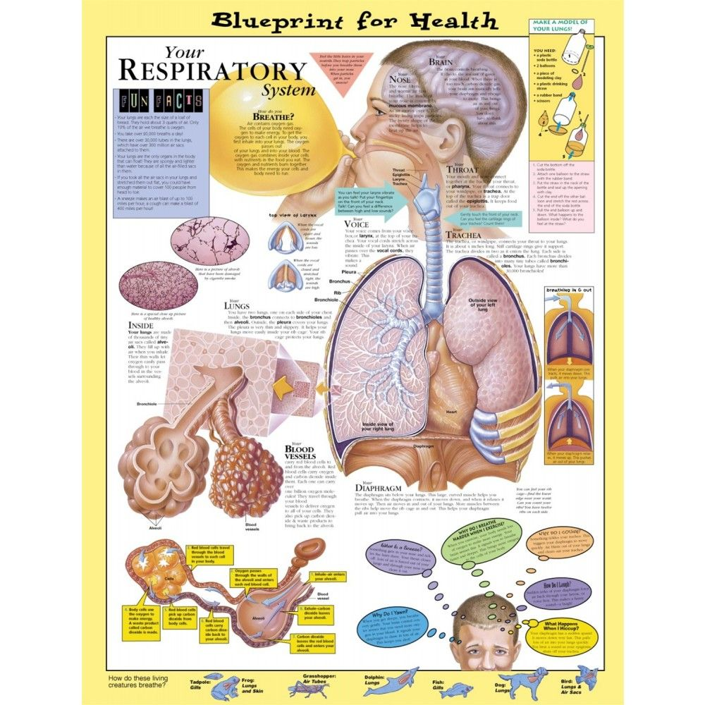 Blueprint for Health Your Respiratory System Chart - 9781587797415