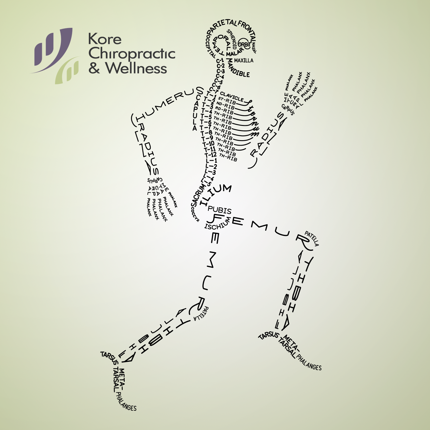 The Skeleton Of An Adult Human Consists Of 206 Bones It