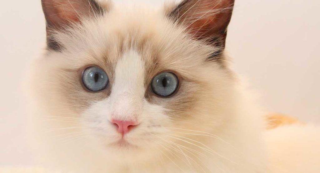 Wisconsin Ragdoll Rescue Adoptions Rescue Me Ragdoll Cat