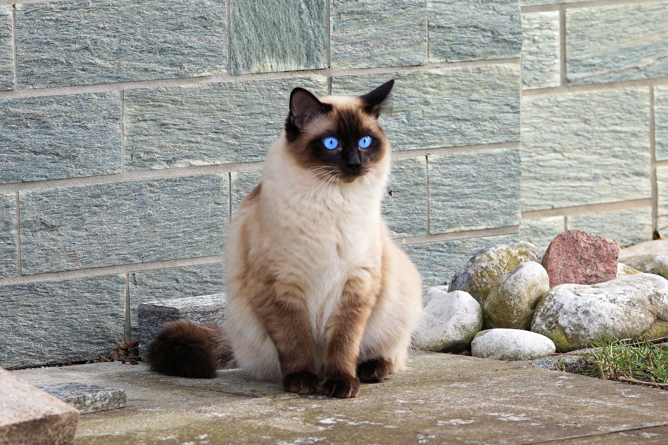 free download pictures of siamese cat Blauw