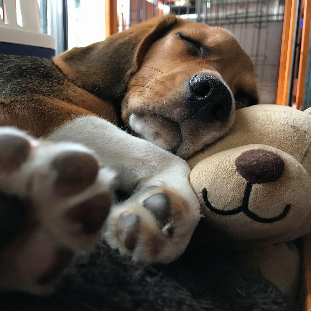 vizsla puppies for sale in lancaster pa