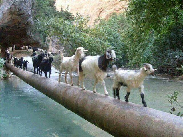 Goat's can walk everywhere