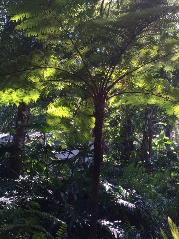 Free Plant Identification Australian tree fern, Tree