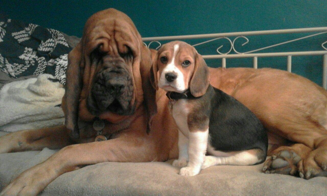 Chief Sailor Bloodhound Beagle Bloodhound Doggy Beagle
