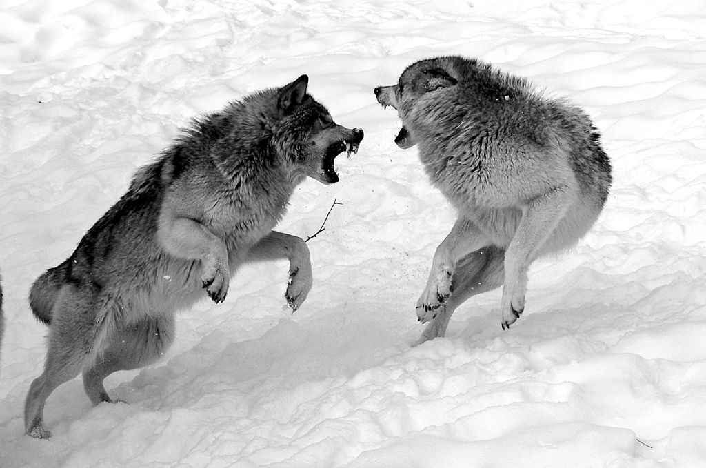 wolf attack! Wolf dog, Wolves fighting, Snarling wolf