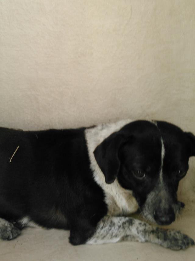 Chihuahua Dog For Adoption In San Antonio Tx Adn 810893 On
