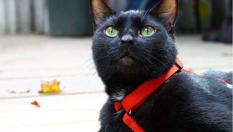 How To Get My Cat To Wear A Collar