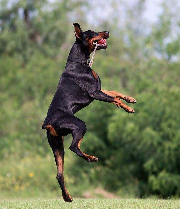 21 Highest Jumping Animals In The World Doberman Pinscher Dog